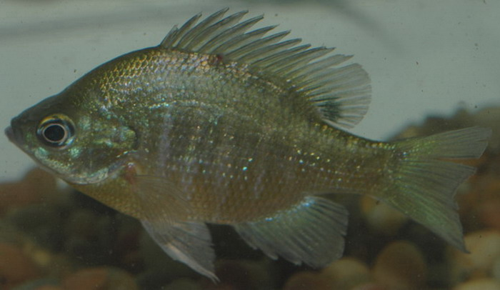 Image gallery lepomis macrochirus for Bluegill fish tank