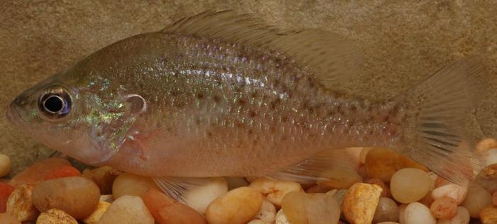Orangespotted Sunfish : orangespotted sunfish, lepomis humilis