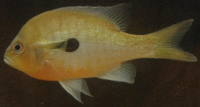 redbreast sunfish, lepomis auritus