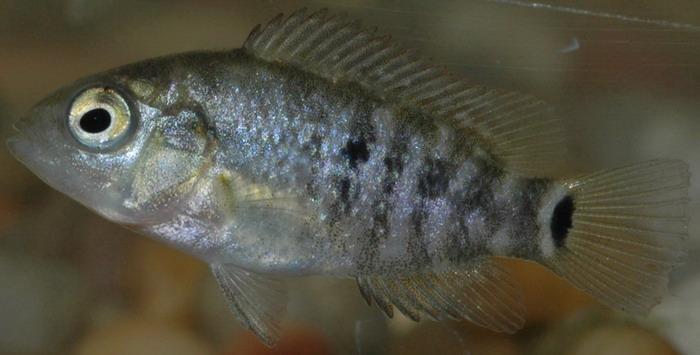 rio grande cichlid, cichlasoma cyanoguttatum